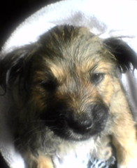 dog breed, animal, dog, schnoodle, pet, border terrier, australian terrier, carnivoran, terrier,