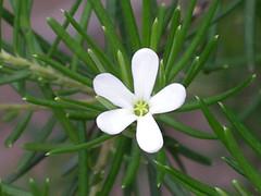 White Native Flower
