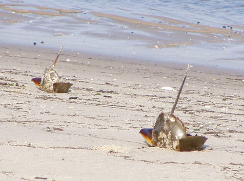 Horseshoe crabs on the Delaware Bay Beach