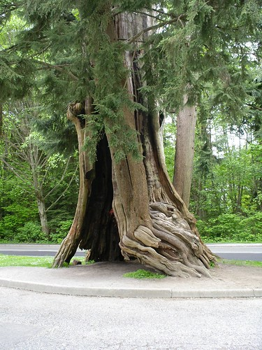 Big Red Cedar in Stanley Park, Vancouver, B.C.