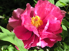 hidden tree peony back bloom