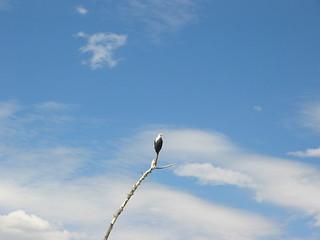 Fishing eagle, lake Naivasha