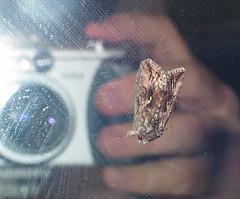 Self Moth
