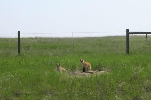 Red fox family (Vulpes vulpes), Montana