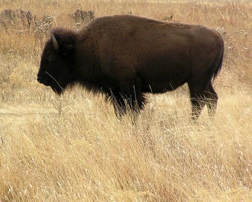 Bison Oklahoma Oklahoma Buffalo from ...