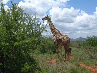 Giraffe in Tsavo National Park, Kenya