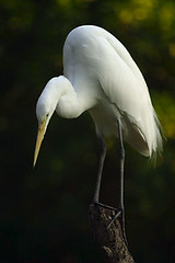 animal, wing, fauna, great egret, heron, pelecaniformes, beak, bird, wildlife,