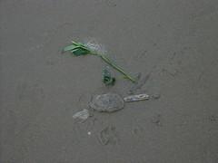 Beheaded Rose