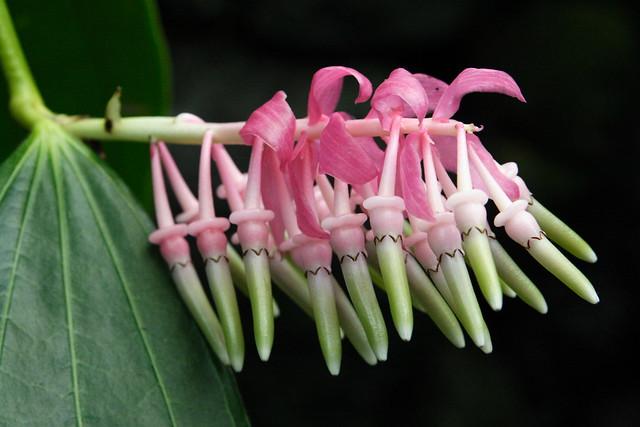 Cavendishia grandifolia