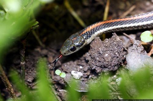 snake, safe in the garden    mg 1357