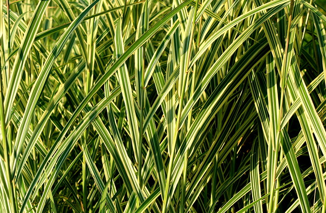 261817321 fdab32727f for Ornamental grasses for small spaces