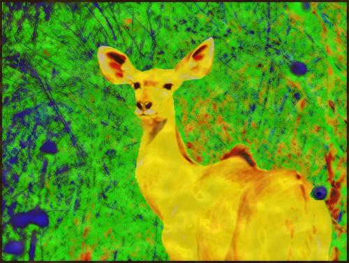 Kudu You Do - Night Vision
