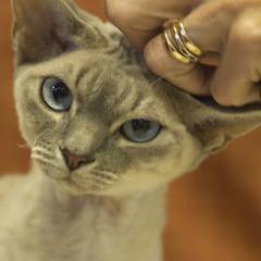 Tibro Cat Show