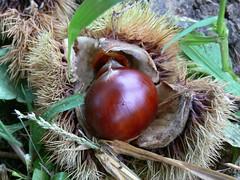 chestnut, nuts & seeds, plant, flora, produce, fruit, food, nut,