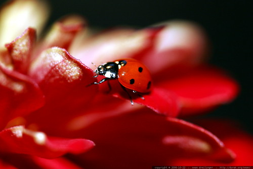 ladybug on flower petal    MG 2772