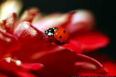 ladybug on flower petal    MG 2772