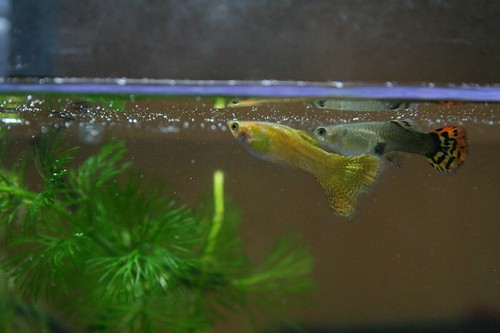 how to move baby fish to a new tank