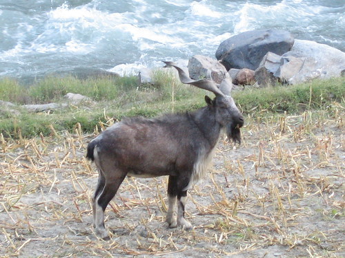 Markhor, Chitral Gol National Park (2)