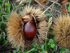 Chestnut on the Ground
