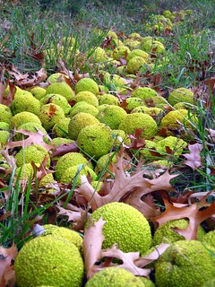 Hedge Apples in a Ditch