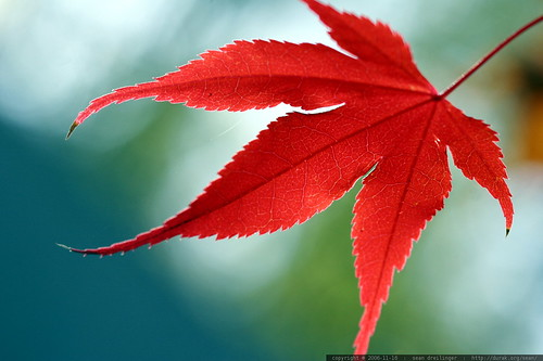 japanese maple leaf, turned red    MG 5590