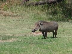 cattle-like mammal(0.0), water buffalo(0.0), mare(0.0), tapir(0.0), animal(1.0), mammal(1.0), grazing(1.0), fauna(1.0), warthog(1.0), pasture(1.0), safari(1.0), wildlife(1.0),