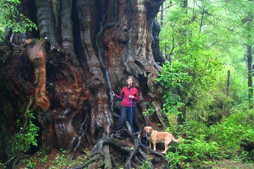 Big old red cedar