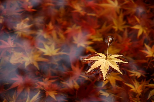 Autumn/Japanese Maple