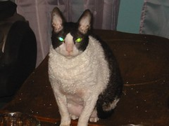 cornish rex(0.0), manx(0.0), domestic short-haired cat(0.0), animal(1.0), small to medium-sized cats(1.0), pet(1.0), mammal(1.0), european shorthair(1.0), cat(1.0), whiskers(1.0), devon rex(1.0),