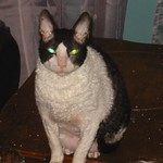 Moe, a Rescued Cornish Rex