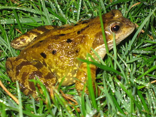 Frog or toad in garden