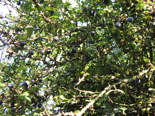 blackthorn tree - photo #13