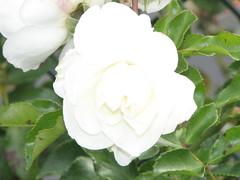blossom(0.0), gardenia(0.0), rosa pimpinellifolia(0.0), jasmine(1.0), shrub(1.0), garden roses(1.0), floribunda(1.0), flower(1.0), plant(1.0), flora(1.0), petal(1.0),