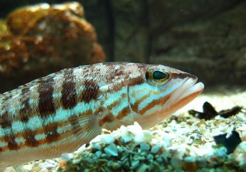 fish cabrilla canonpowershots45 comber cretaquarium serranus thalassocosmos