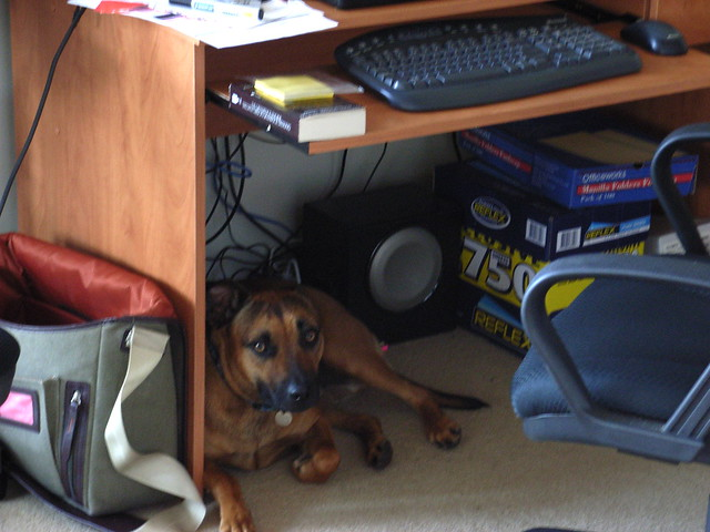 Samson the Office Dog