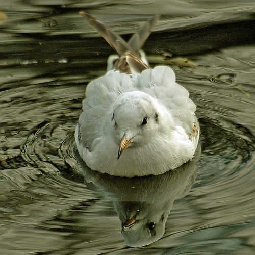 Mirrored Gull