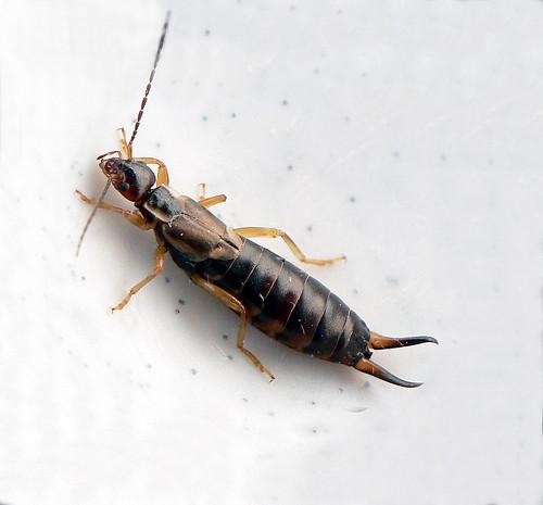 striped tail scorpion