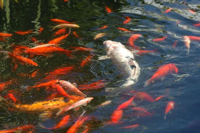 Koi 200 giant white carp flickr photo sharing for White koi carp