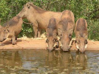 Warthogs getting a drink near the lodge