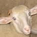 Small photo of Abruzzi Sheep
