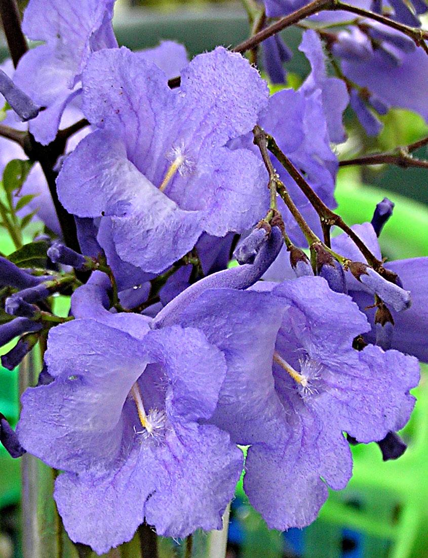 Image result for jacaranda flower