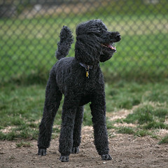 miniature poodle, standard poodle, animal, dog, pet, lagotto romagnolo, mammal, kerry blue terrier, poodle, portuguese water dog,