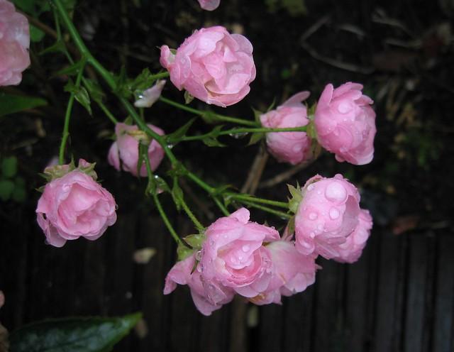 Rosas tristes