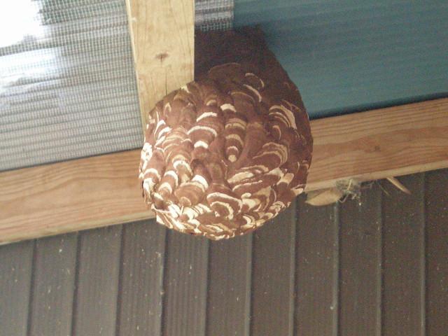 asian giant hornet's nest | early morning so no hornets ...