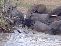 mahout(0.0), animal(1.0), indian elephant(1.0), elephant(1.0), elephants and mammoths(1.0), african elephant(1.0), fauna(1.0), safari(1.0), wildlife(1.0),