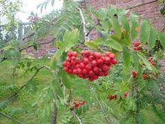 shrub(0.0), flower(0.0), crataegus pinnatifida(0.0), produce(0.0), food(0.0), schisandra(0.0), evergreen(1.0), berry(1.0), plant(1.0), flora(1.0), fruit(1.0), rowan(1.0),