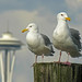20060410 Seagulls by D & E Hutchinson