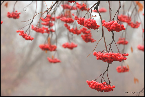 Red Berries in Fog by Mark Payton