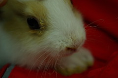 nose, animal, guinea pig, rodent, domestic rabbit, pet, close-up, whiskers, rabits and hares,