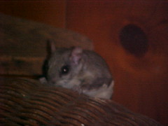 hamster(0.0), whiskers(0.0), animal(1.0), rat(1.0), rodent(1.0), mouse(1.0), muroidea(1.0), degu(1.0), pest(1.0), chinchilla(1.0), gerbil(1.0),